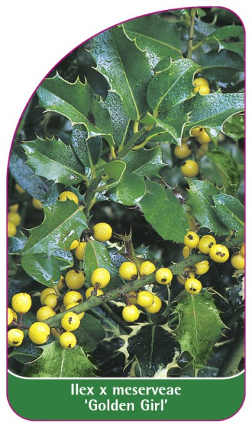 Ilex x meserveae 'Golden Girl', 68 x 120 mm