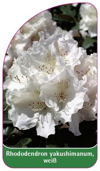 Rhododendron yakushimanum, weiß, 68 x 120 mm