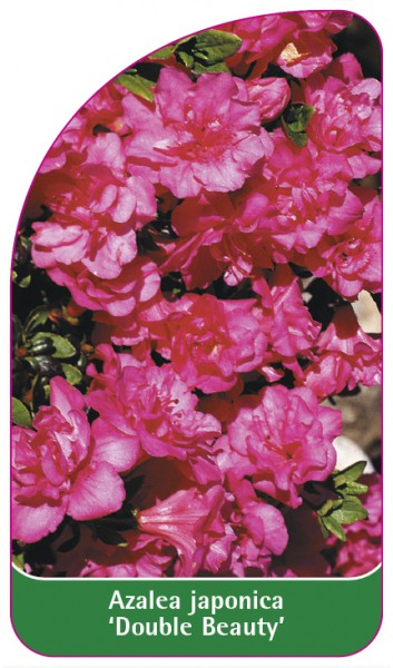 Azalea japonica 'Double Beauty', 68 x 120 mm