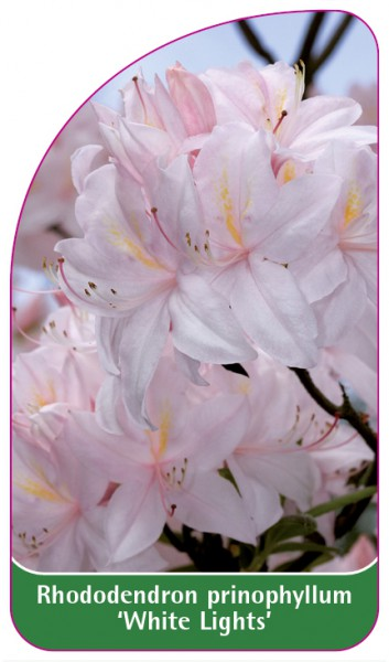 Rhododendron prinophyllum 'White Lights', 68 x 120 mm
