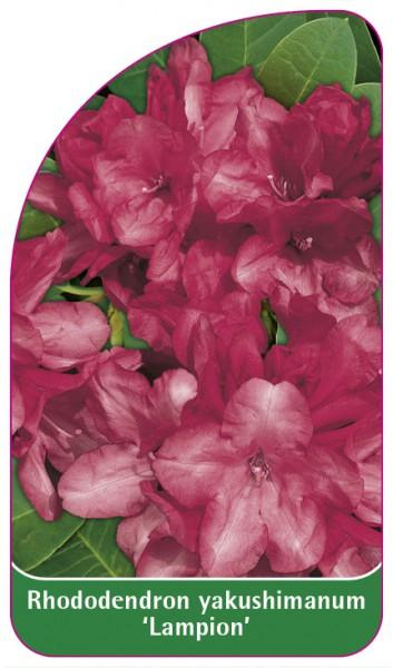 Rhododendron yakushimanum 'Lampion', 68 x 120 mm
