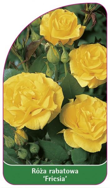 Róza rabatowa 'Friesia', 68 x 120 mm