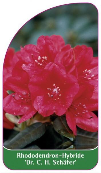 Rhododendron-Hybride 'Dr. C. H. Schäfer', 68 x 120 mm