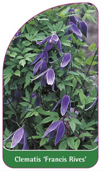 Clematis 'Francis Rives', 68 x 120 mm