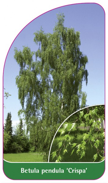 Betula pendula 'Crispa', 68 x 120 mm