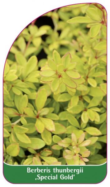 Berberis thunbergii ,Special Gold', 68 x 120 mm