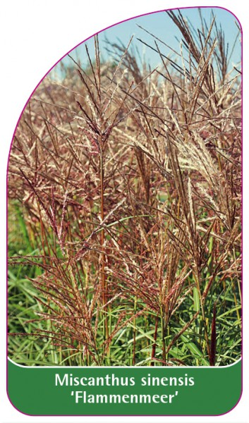 Miscanthus sinensis 'Flammenmeer', 68 x 120 mm