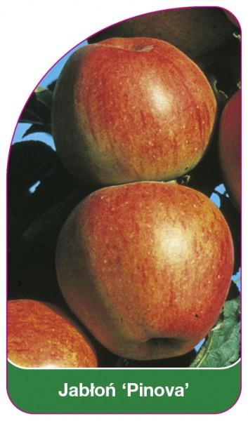 Jabłoń 'Pinova', 68 x 120 mm
