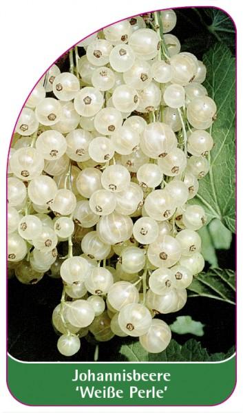 Johannisbeere 'Weiße Perle', 68 x 120 mm