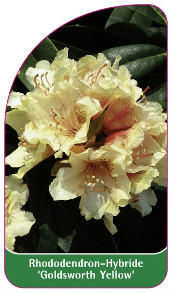 Rhododendron-Hybride 'Goldsworth Yellow', 68 x 120 mm