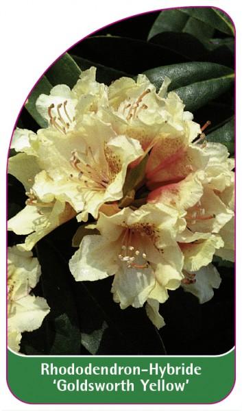 Rhododendron-Hybride 'Goldsworth Yellow', 68 x 120 mm