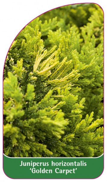 Juniperus horizontalis 'Golden Carpet', 68 x 120 mm