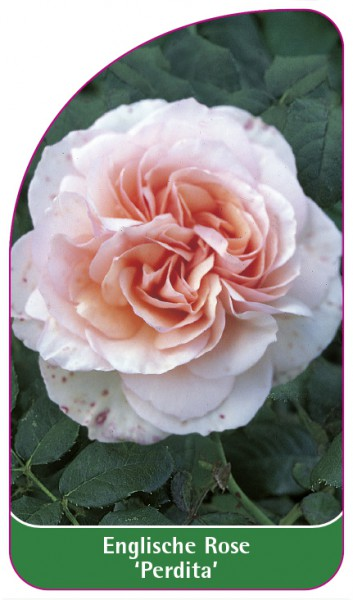 Englische Rose 'Perdita', 68 x 120 mm