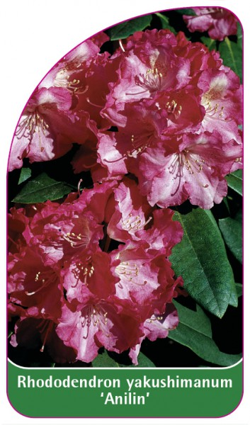 Rhododendron yakushimanum 'Anilin', 68 x 120 mm