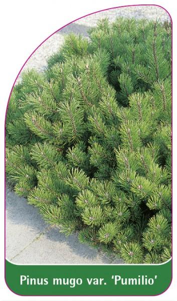 Pinus mugo var. 'Pumilio', 68 x 120 mm