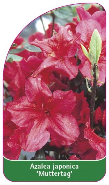 Azalea japonica 'Muttertag', 68 x 120 mm