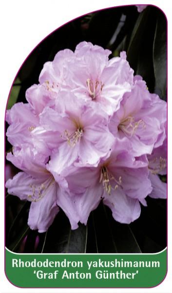 Rhododendron yakushimanum 'Graf Anton Günther', 68 x 120 mm