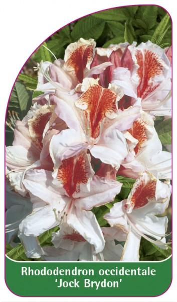 Rhododendron occidentale 'Jock Brydon', 68 x 120 mm
