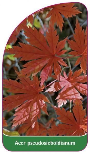 Acer pseudosieboldianum, 68 x 120 mm