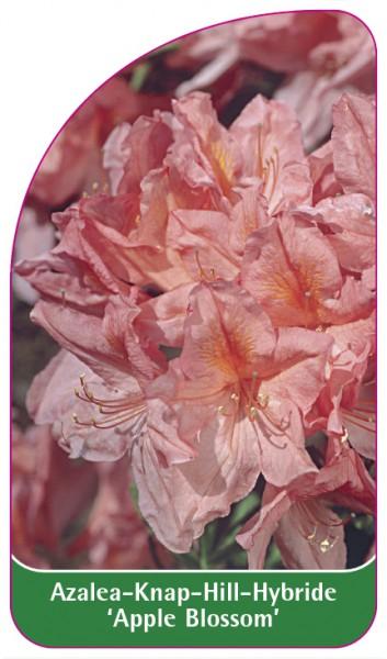 Azalea Knap-Hill-Hybride 'Apple Blossom', 68 x 120 mm