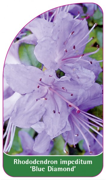 Rhododendron impeditum 'Blue Diamond', 68 x 120 mm