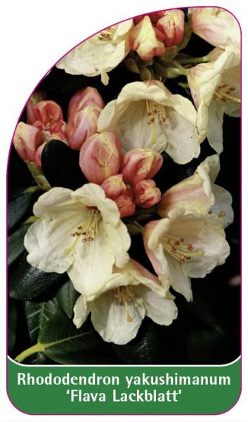 Rhododendron yakushimanum 'Flava Lackblatt', 68 x 120 mm