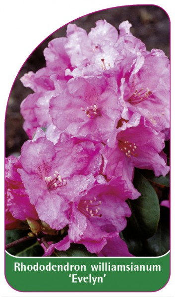 Rhododendron williamsianum 'Evelyn', 68 x 120 mm
