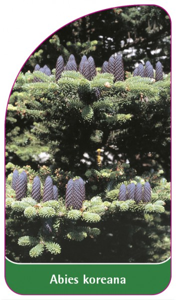 Abies koreana, 68 x 120 mm