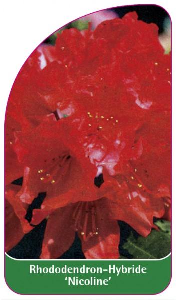 Rhododendron-Hybride 'Nicoline', 68 x 120 mm