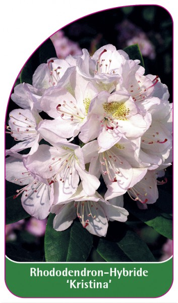 Rhododendron-Hybride 'Kristina', 68 x 120 mm