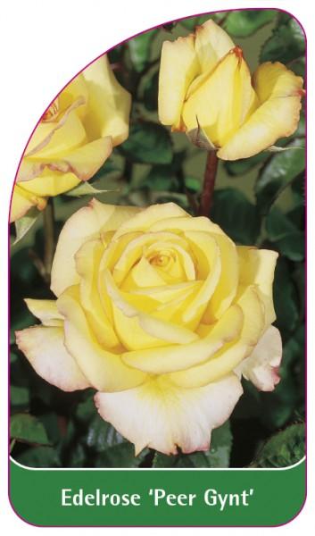 Edelrose 'Peer Gynt', 68 x 120 mm