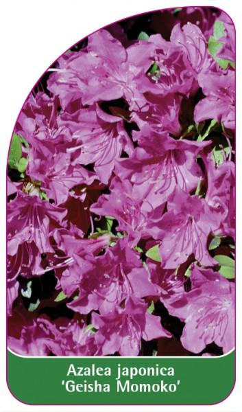 Azalea japonica 'Geisha Momoko', 68 x 120 mm