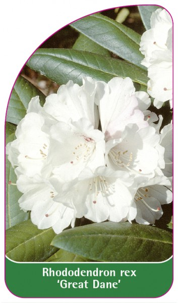Rhododendron rex 'Great Dane', 68 x 120 mm