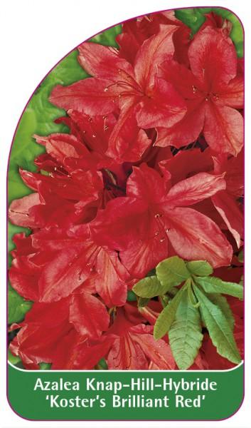 Azalea Knap-Hill-Hybride 'Koster's Brilliant Red', 68 x 120 mm