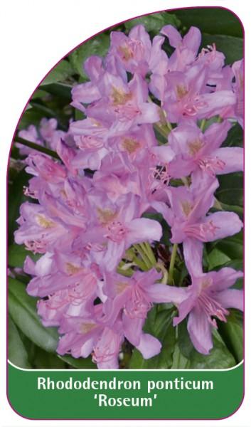 Rhododendron ponticum 'Roseum', 68 x 120 mm