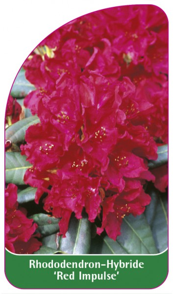 Rhododendron-Hybride 'Red Impulse', 68 x 120 mm