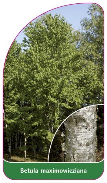 Betula maximowicziana, 68 x 120 mm