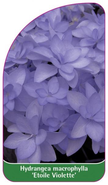 Hydrangea macrophylla 'Etoile Violette', 68 x 120 mm