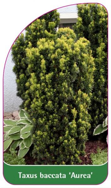 Taxus baccata 'Aurea', 68 x 120 mm