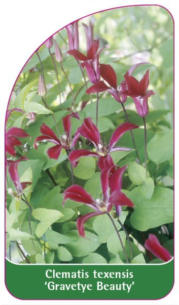 Clematis texensis 'Gravetye Beauty', 68 x 120 mm