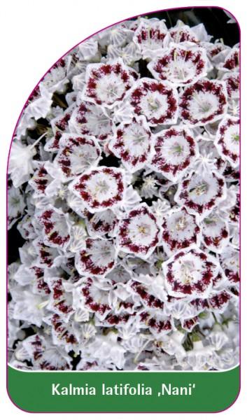 Kalmia latifolia 'Nani', 68 x 120 mm