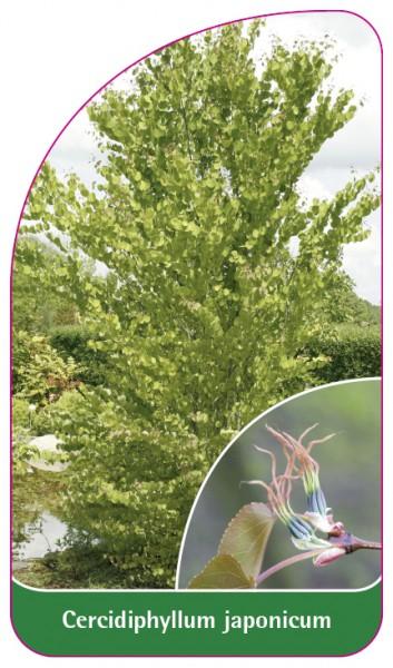Cercidiphyllum japonicum, 68 x 120 mm