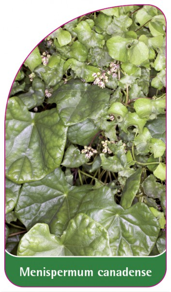 Menispermum canadense, 68 x 120 mm