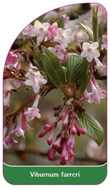 Viburnum farreri, 68 x 120 mm