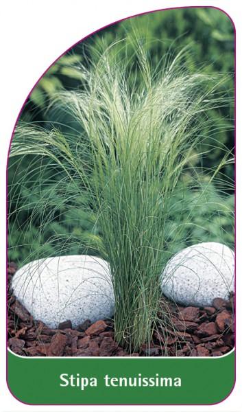 Stipa tenuissima, 68 x 120 mm