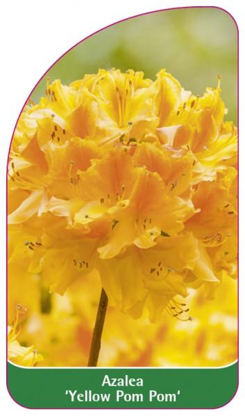 Azalea 'Yellow Pom Pom', 68 x 120 mm