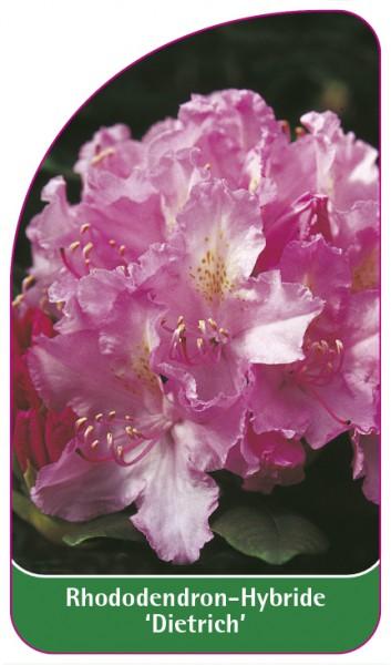 Rhododendron-Hybride 'Dietrich', 68 x 120 mm