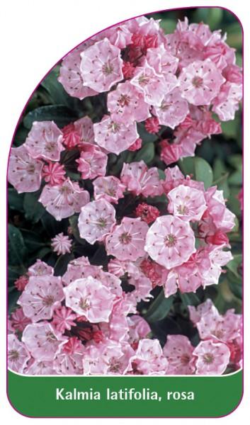 Kalmia latifolia, rosa, 68 x 120 mm