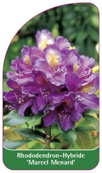 Rhododendron-Hybride 'Marcel Menard', 68 x 120 mm