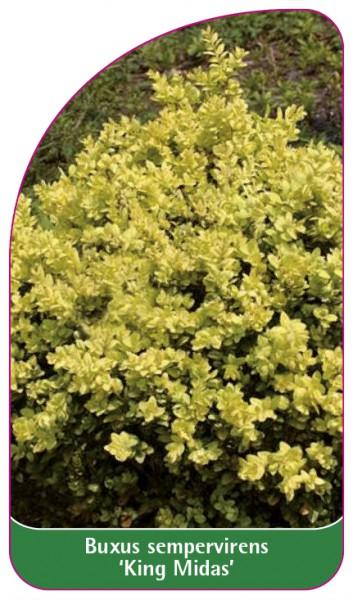 Buxus sempervirens 'King Midas', 68 x 120 mm